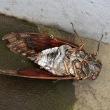 兜虫と蝉死に遭遇