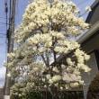 春爛漫  コブシ木蓮  犬ふぐり