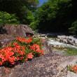 18年6.25~赤沢渓谷~キソガワサツキ見頃です