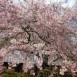 京都の桜2018原谷苑