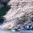 満開の桜、旧暦を訪ねて、今日は3人?で行った目黒川沿道へ