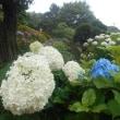 小雨降りあじさいの花いきいきと