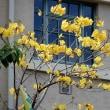 黄色いラッパ^^、イペの花