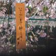 日本の桜が満開🌸 A cherry tree is in full bloom.