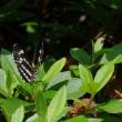 訂正! カワラヒワの幼鳥とコミスジ蝶など