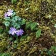 コイワザクラ    季節の山野草