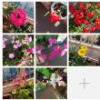 ベランダの花が春の陽気の様な天気に鮮やかに咲いています。