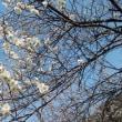 高尾の梅を愛で、小仏川の野の花を愛でる。