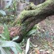 梅の古木倒れる 帯のバッグ達