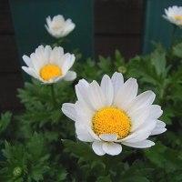 季節の花「ノースポール」