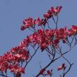 八重桜とハナミズキ(花水木)
