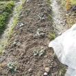 イチゴの畝でカエルが冬眠中でした