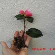 八重椿の盆栽。