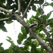すごい蚊に悩まされながら、林でエナガに出会った。