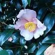 初恋の色の〝山茶花〟