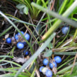 ジャノヒゲの青白い実