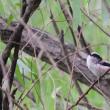 小鳥の混群の中に、混じっていたエナガ。