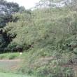 合歓の木(silk tree)の花がまた咲いている。 兵庫県立三木山森林公園