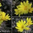 ユリオプスデージの花は