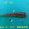 笑転爺の釣行記 8月8日☀ 浦賀港岸壁