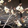 春が近づていますね!桜を発見!