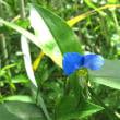 植物の漢字 露草