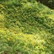満開だった片倉城跡公園のヤマブキソウ(1)ヤマルリソウ、フタバアオイ、ヤマブキソウ