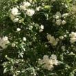 枇杷葉の実、収穫