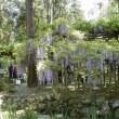 万葉植物園の藤