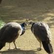 孔雀、羽は広げなかったけど・・・。