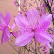 季節の花「三葉躑躅 (みつばつつじ)」
