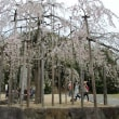 枝垂れ桜を見に来ました。