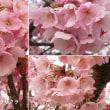 ヨウコウザクラの花は
