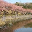 河津桜を見に行こう~!