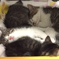 キジ白子猫 3兄妹!