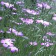 「アグロステンマ」昭和記念公園で一面に咲くアグロステンマは圧倒される!