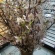 今日の歳時記、桜