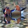 池のオシドリ(2)