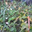 下池の周りにミゾソバが咲いている。 兵庫県立三木山森林公園