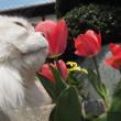 チューリップが咲く季節が来てたぁ