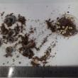 カブトムシ卵と幼虫