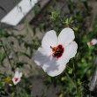 路肩の隙間から、ど根性!〜ヤノネボンテンカの花
