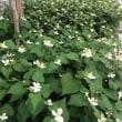 白くて小さな花 …