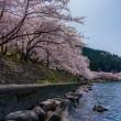 海津大崎の桜 15