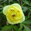 ボタン(黄色)開花
