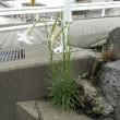 コンクリートの隙間から・・・ド根性ユリ・・・今年も花を咲かせました!