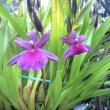 「江戸紫」も咲き始めた
