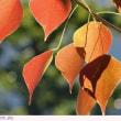 ナンキンハゼ 〈南京ハゼ〉 の紅葉