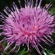 [#3791] アザミ(2)1個の花