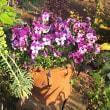 ガーベラ咲きました